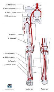 Arteriële vaatanatomie onderste extremiteit