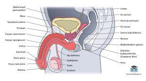 Tractus urogenitalis
